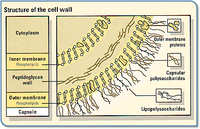 A labeled diagram of the meningococcal cell wall